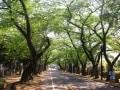 新緑の季節こそ、桜並木がいい散歩コースになる