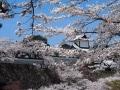 金沢のお花見におすすめな桜の名所5選