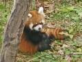 円山動物園ニューアイドル!レッサーパンダの赤ちゃん