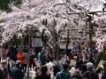 京都・醍醐寺の桜 秀吉が愛した桜の名所を歩く