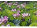 12万株の花蓮が咲き乱れる!埼玉「古代蓮の里」