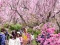 京都の桜、遅咲きスポット3ヶ所をめぐる散歩道