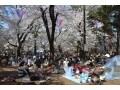 大宮公園で桜のお花見!見ごろ時期・ライトアップ情報