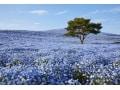 ひたち海浜公園のネモフィラ畑!青一色に染まる丘