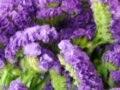 カサカサした紫色の花「スターチス」とは?花言葉や開花時期を解説
