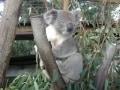 オーストラリアのコアラを抱っこできる動物園
