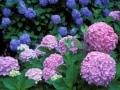 紫陽花の豆知識…花言葉は浮気?! あじさいの種類・名所・おまじない