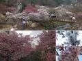 熱海梅園とあたみ桜 日本一早く春の花を楽しもう!