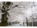 長瀞の桜並木が美しい!エリア別見ごろ情報2018