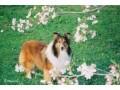 シェルティーの特徴・性格や寿命、飼育法や歴史を解説