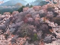 奈良の吉野山、最古のロープウェイから見る桜