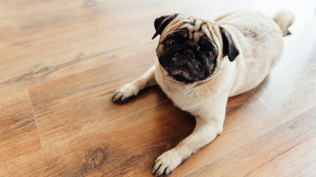 「滑るゆか 犬」の画像検索結果