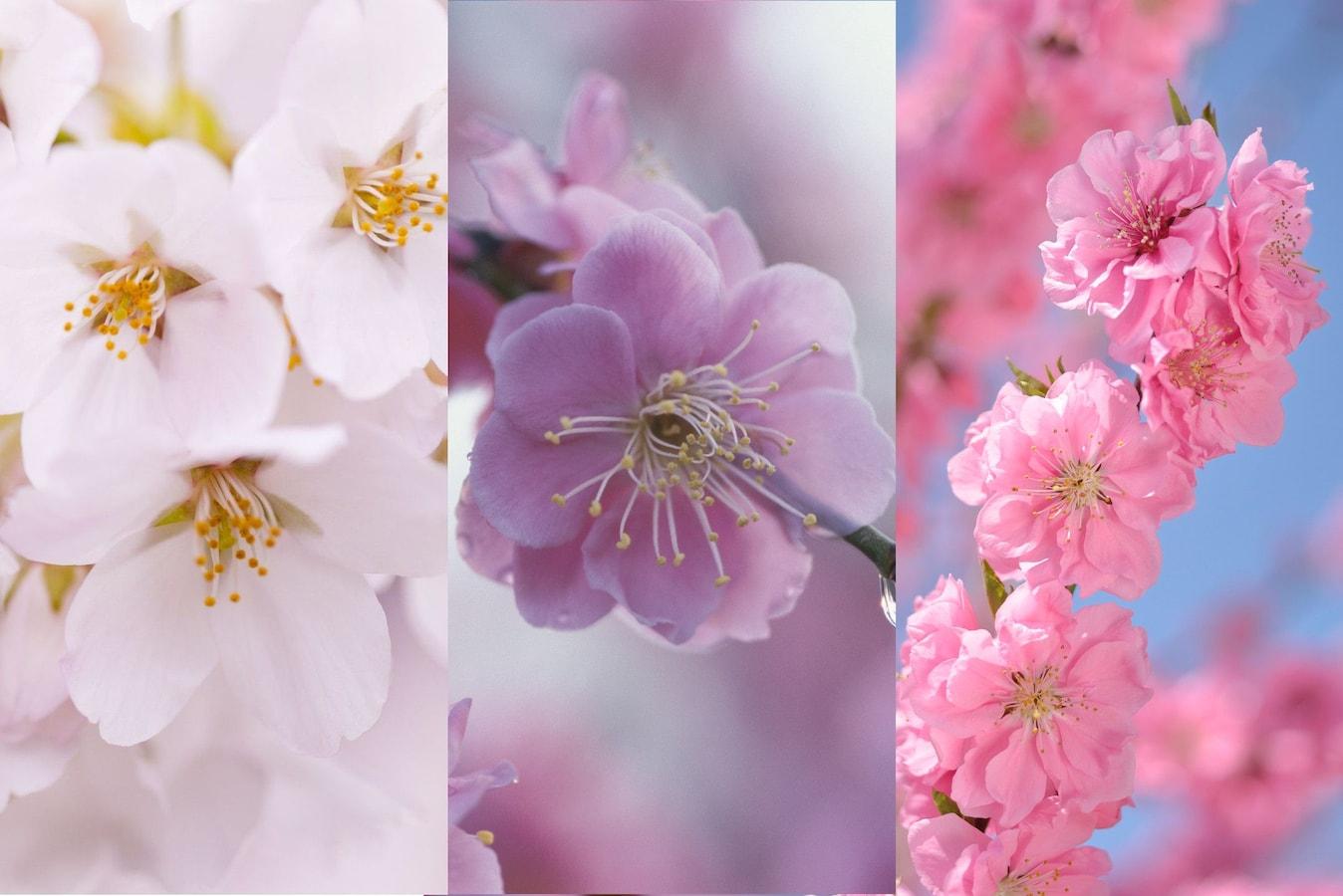 と 違い 梅 桜の