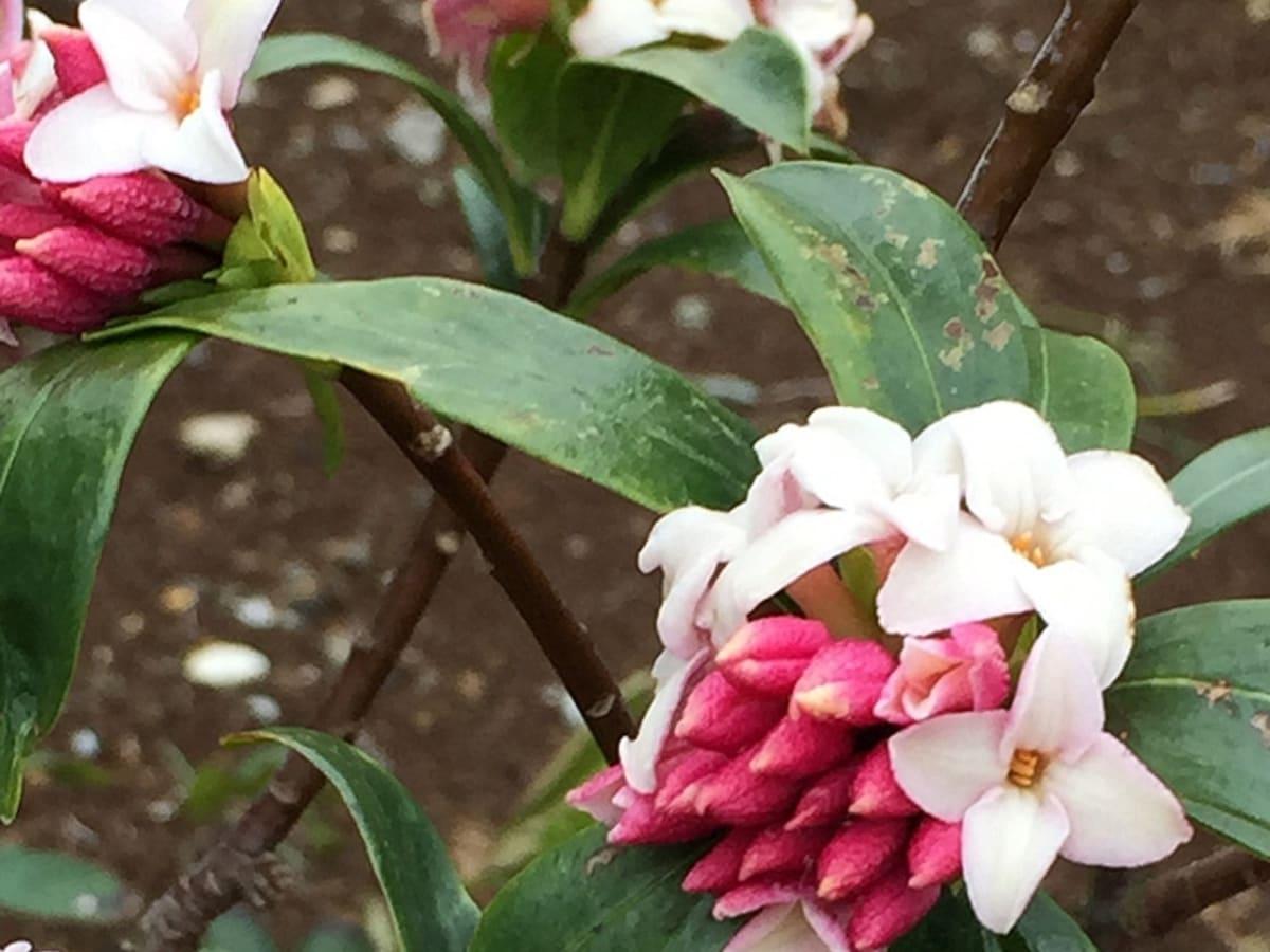 日本の春を感じる「沈丁花」のフレグランス