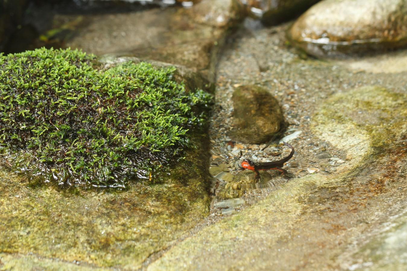 アカハラ イモリ 繁殖