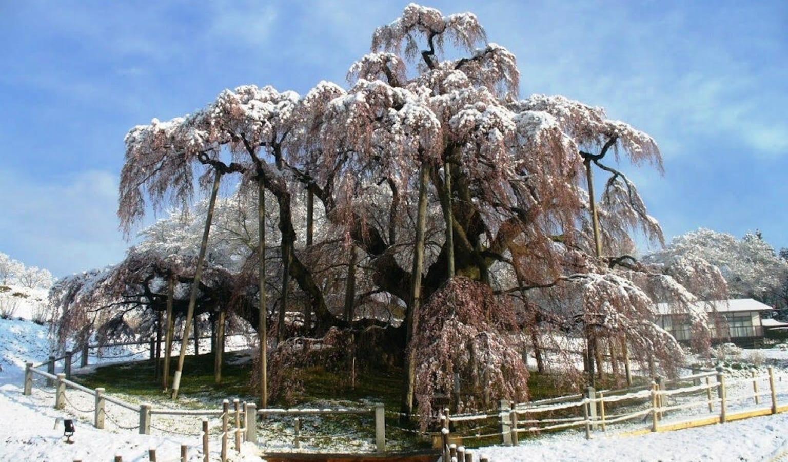 Snow sakura