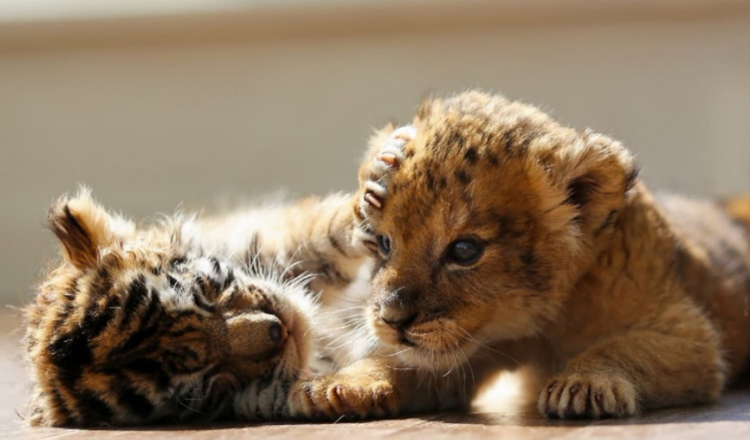 Baby Tiger & Baby Lion Become Besties