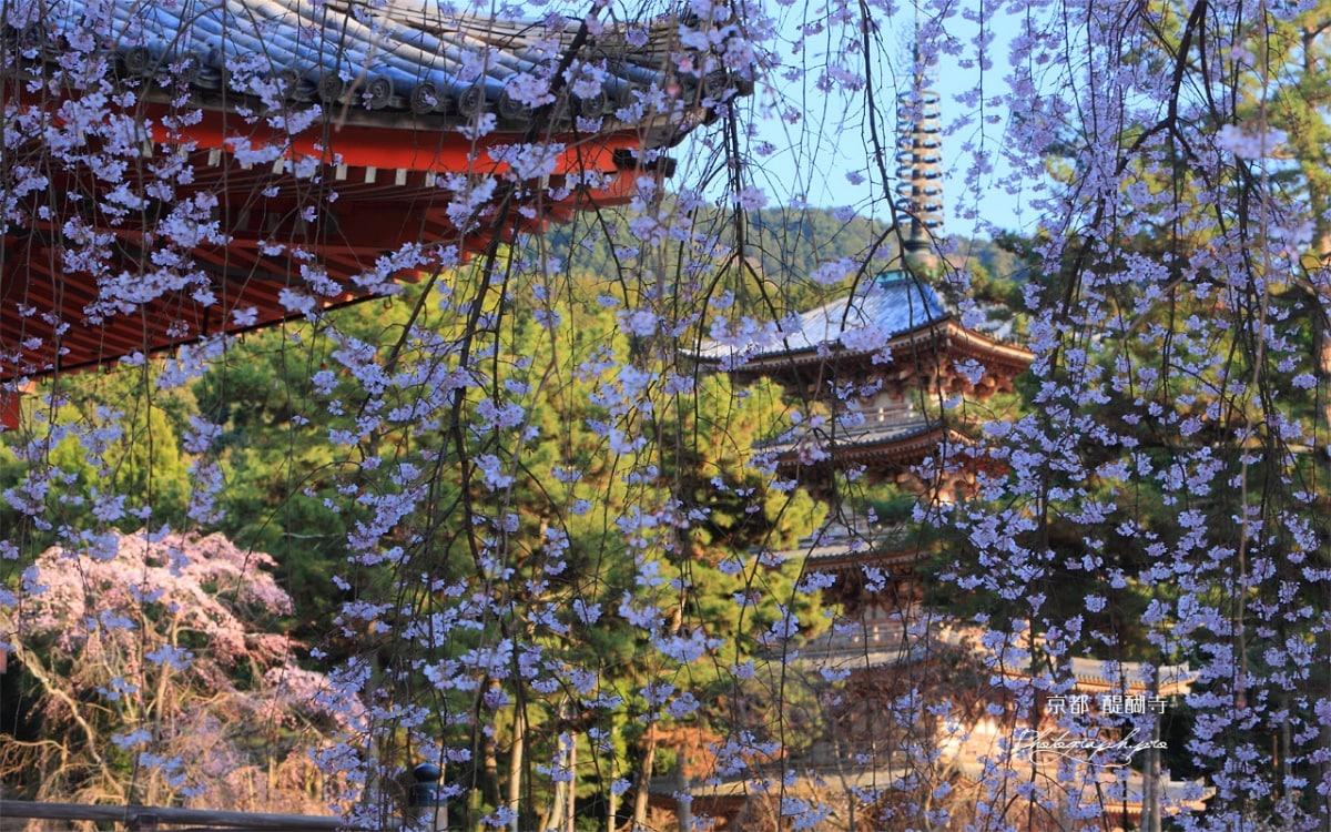京都花見期比其他地區來的長?