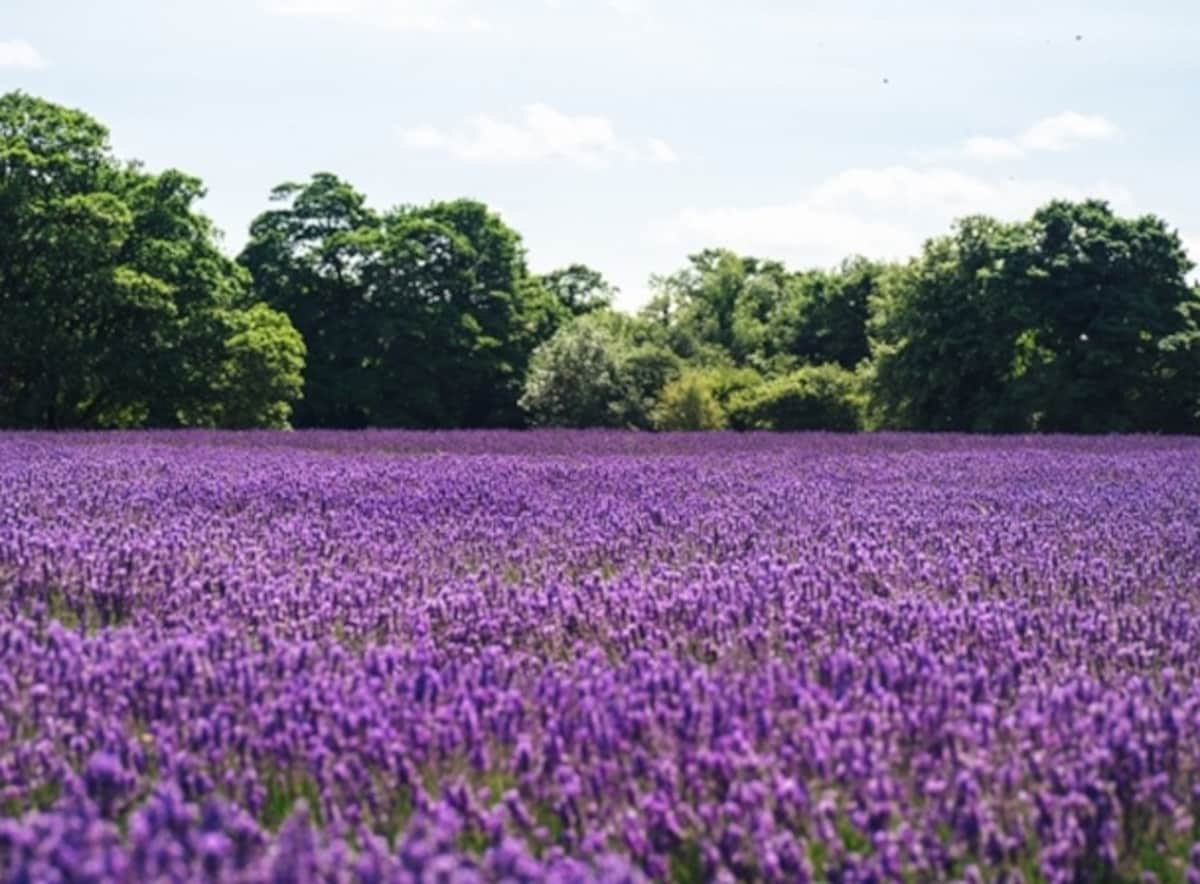 The Lavender Fields of Farm Tomita