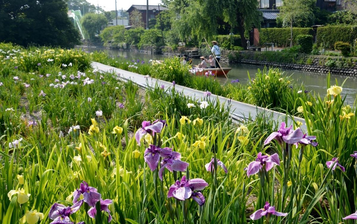1. สวน Kabashima Iris Garden (Fukuoka)【บานช่วง : ปลายพฤษภา - กลางมิถุนา】