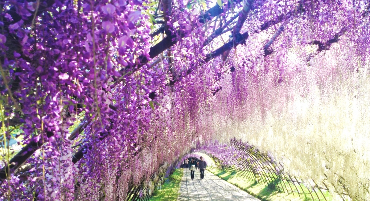 10. The Flower Tunnel at Kawachi Fujien (Fukuoka)