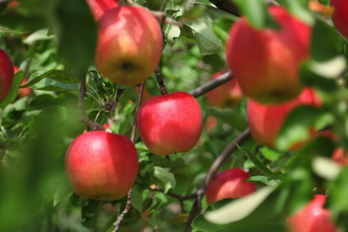 아오모리- 사과