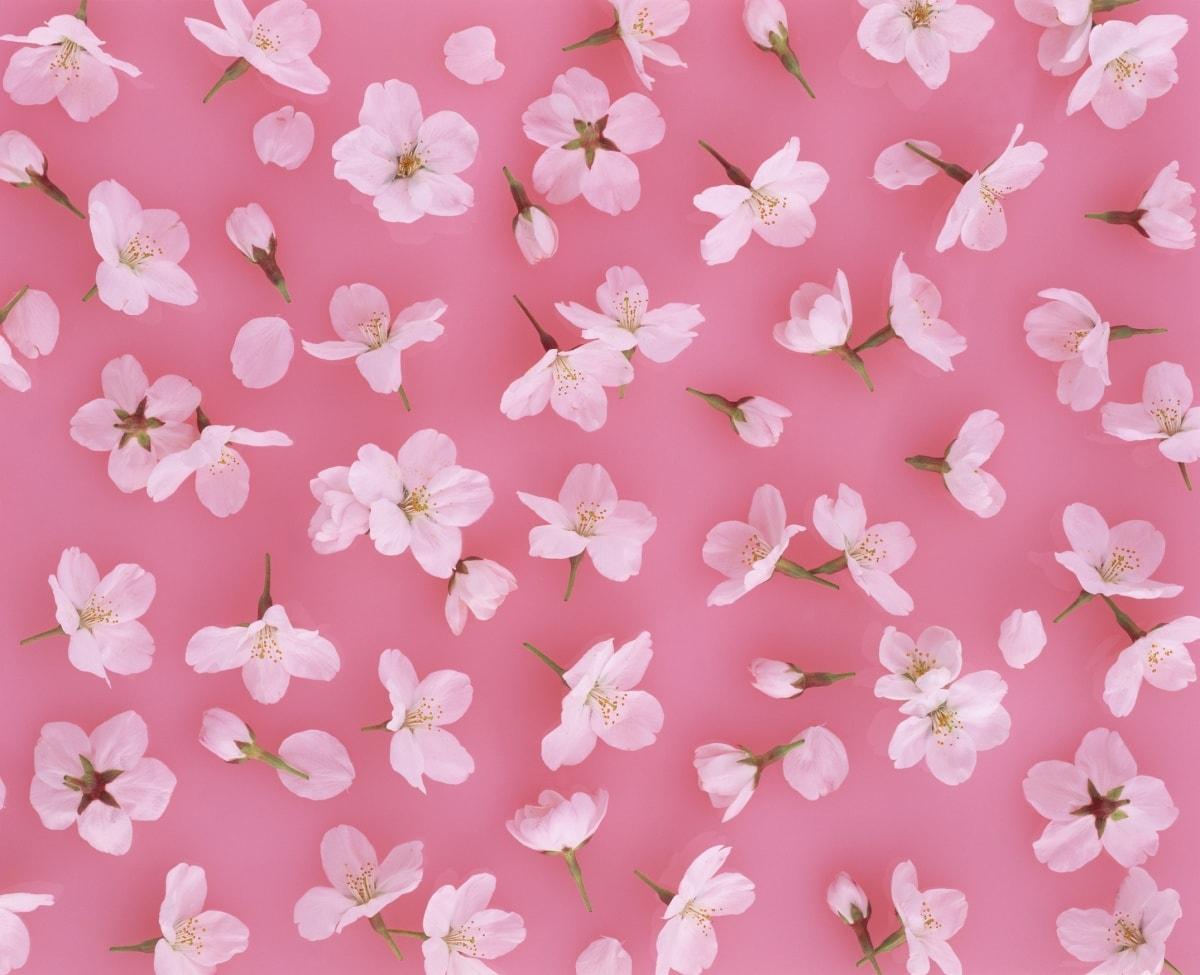 什麼是櫻花「滿開 まんかい」?