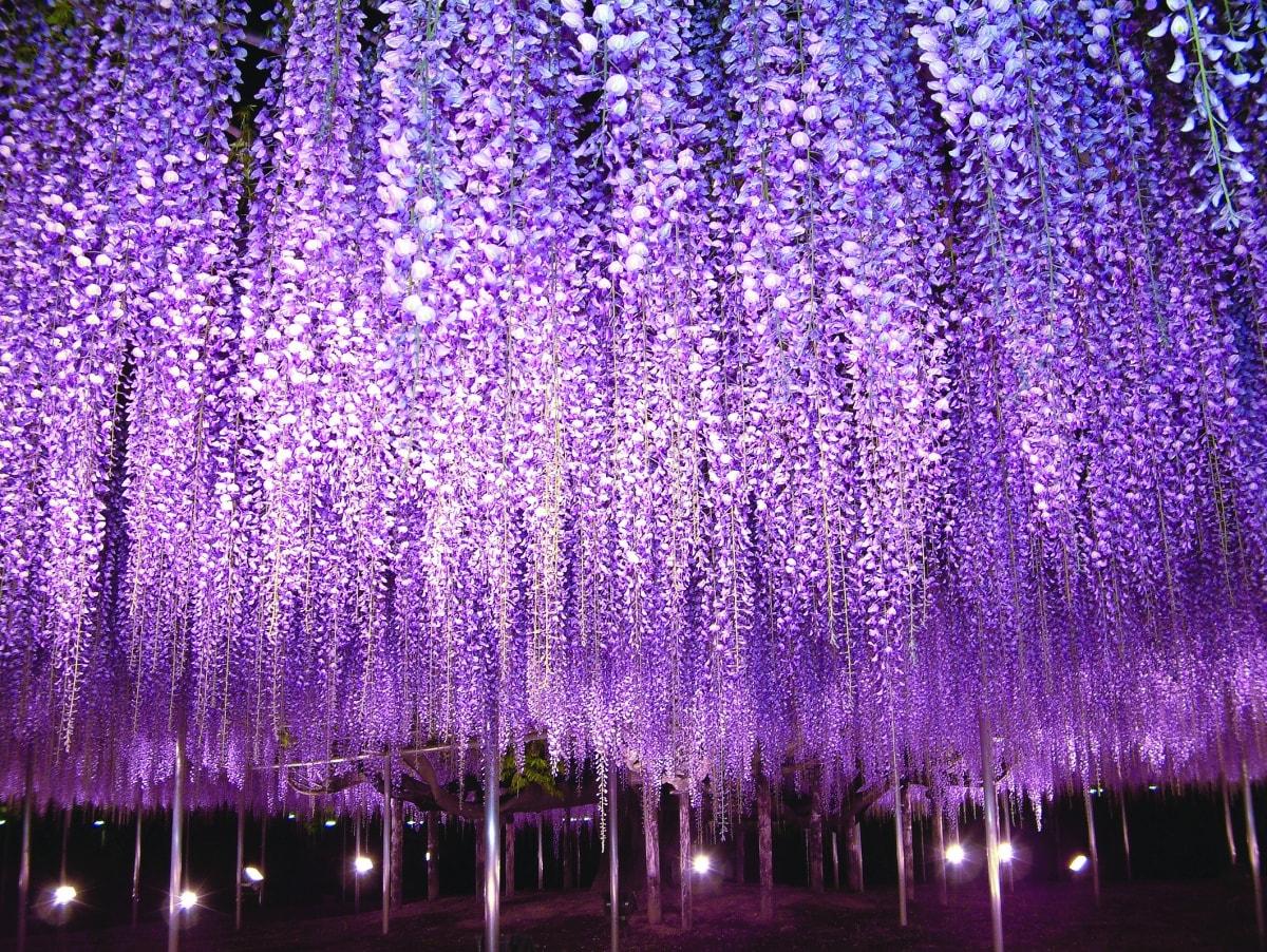 日本最大紫藤花架—足利花卉公園(栃木縣)