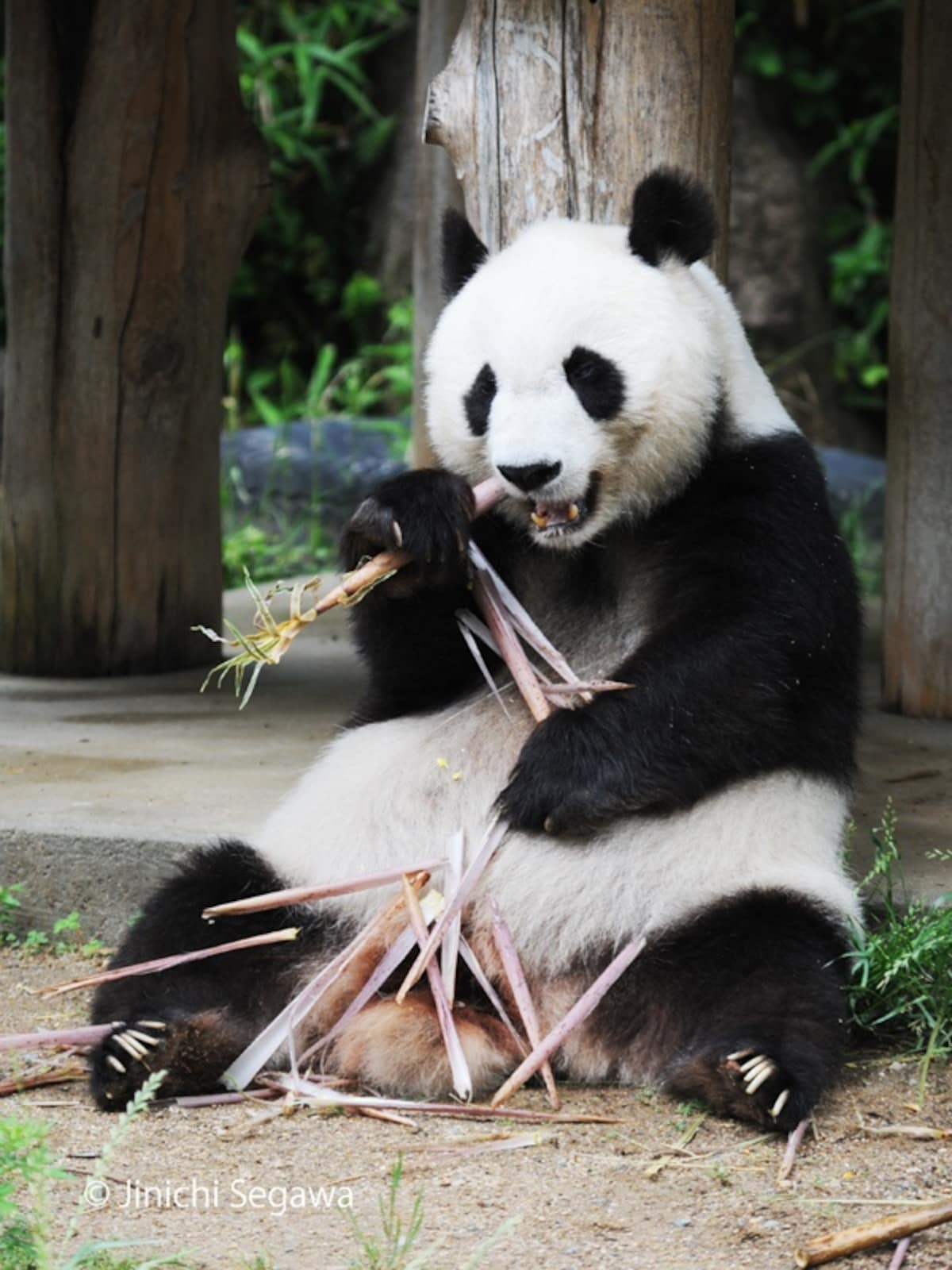 The Panda Star of Oji Zoo