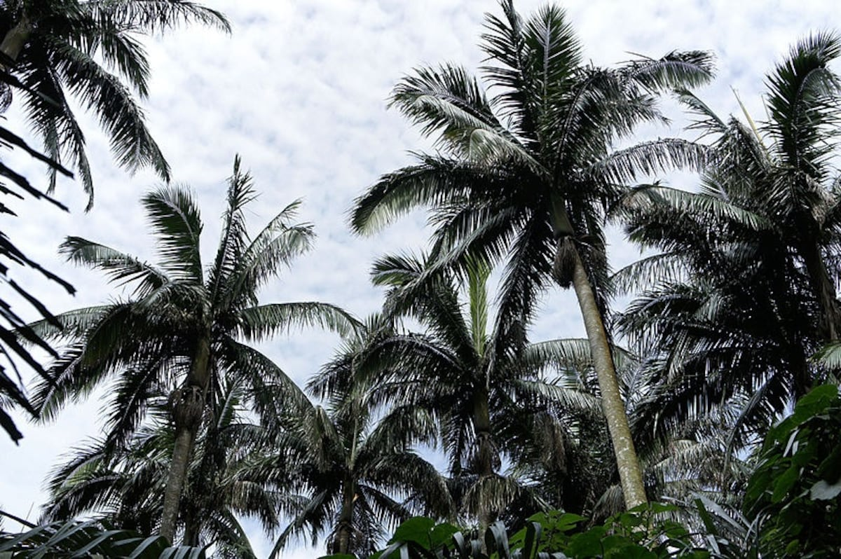 5. Yaeyama Palm Grove
