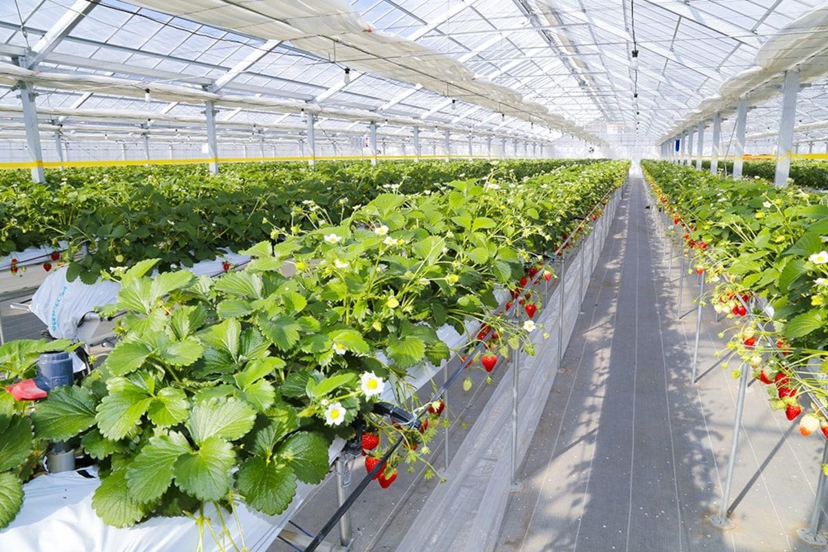 Sweet Strawberry Paradise: Soma Strawberry Picking Experience