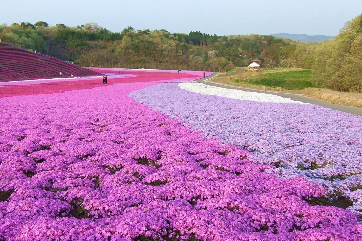 【栃木】超完美!360度環繞的櫻花全景|市貝町芝櫻公園 (市貝町芝ざくら公園)