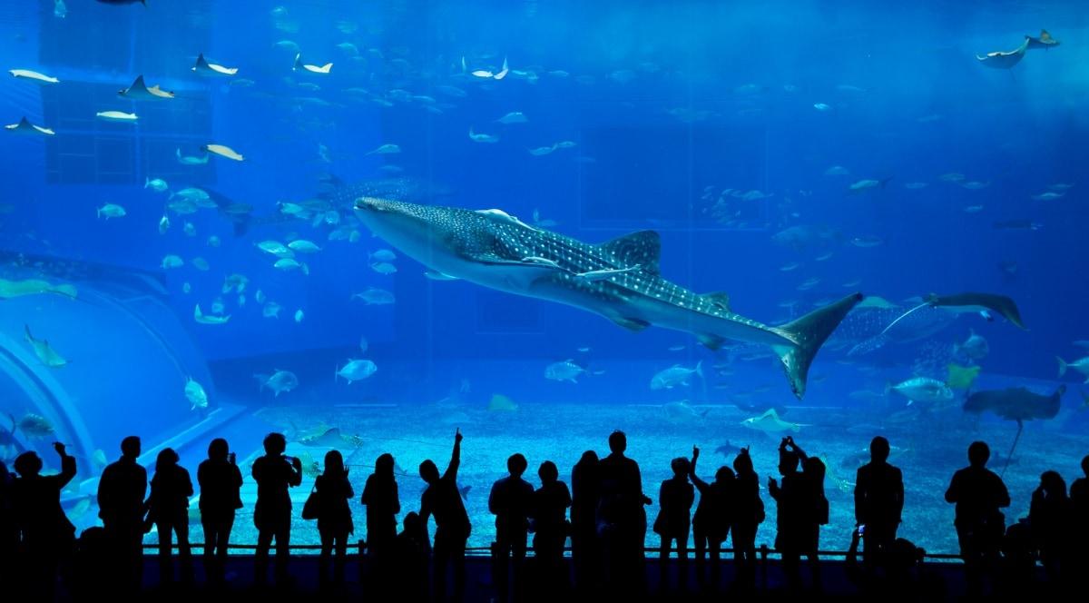 1. พิพิธภัณฑ์สัตว์น้ำชูราอุมิ (Okinawa Churaumi Aquarium)