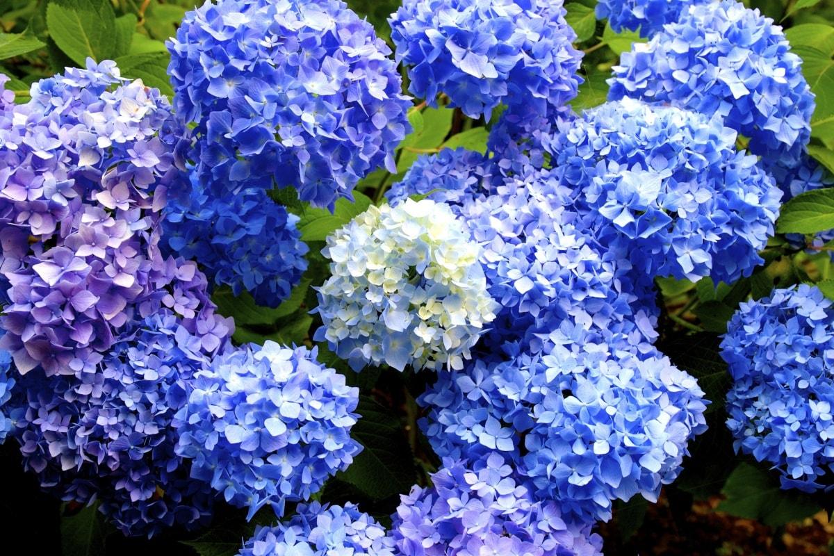 1. ดอกไฮเดรนเยีย (Hydrangea)