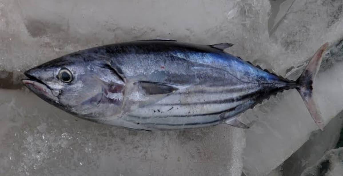 2. ปลาคัตสึโอะ