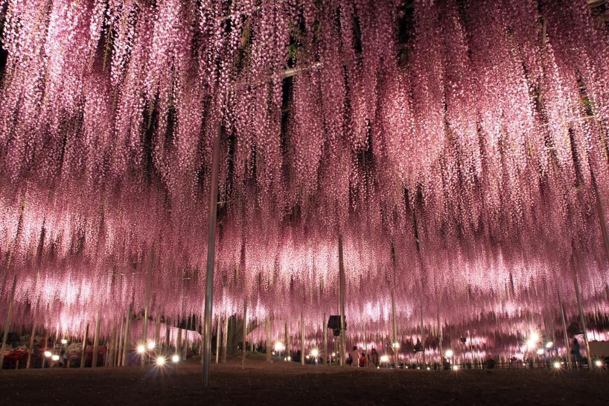 เดินชมดอกวิสทีเรียที่ สวนดอกไม้อาชิคากะ (Ashikaga flower park) - Tochigi