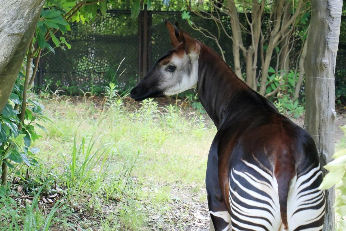 6 โอคาพี (Okapi)