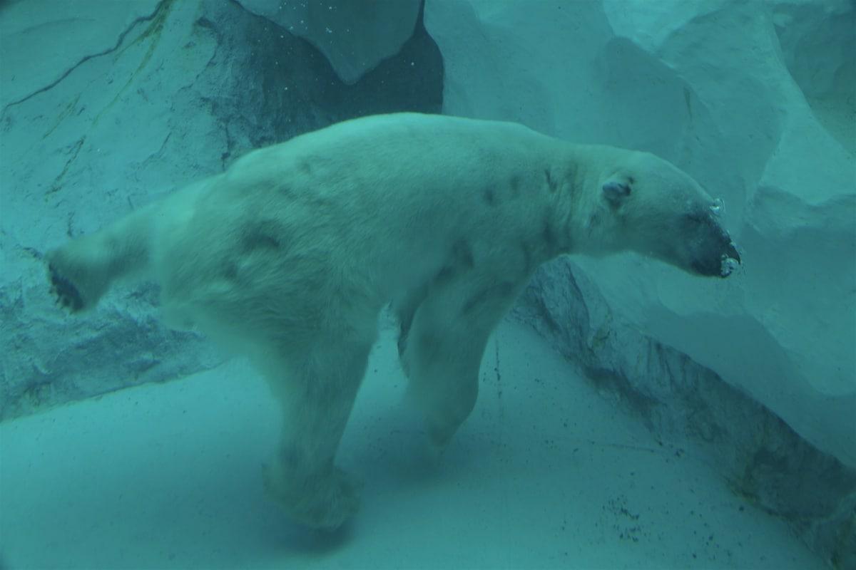 1 หมีขาว (Polar Bear)