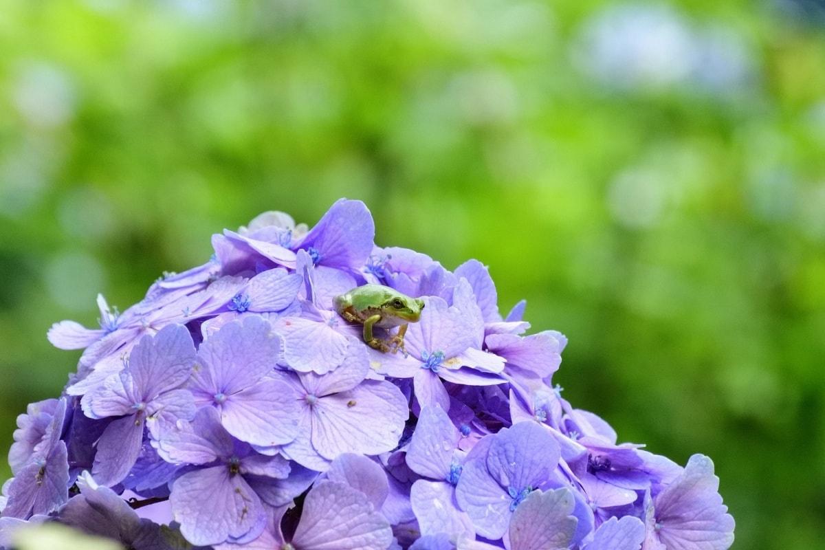 翻翻古籍,聊聊「紫陽花」名字的緣由