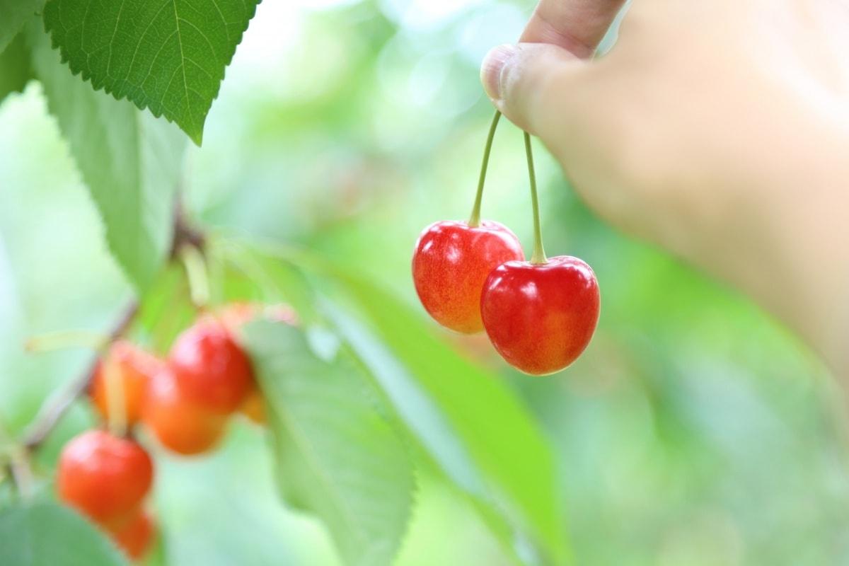 初夏水果首推!小巧可爱的樱桃