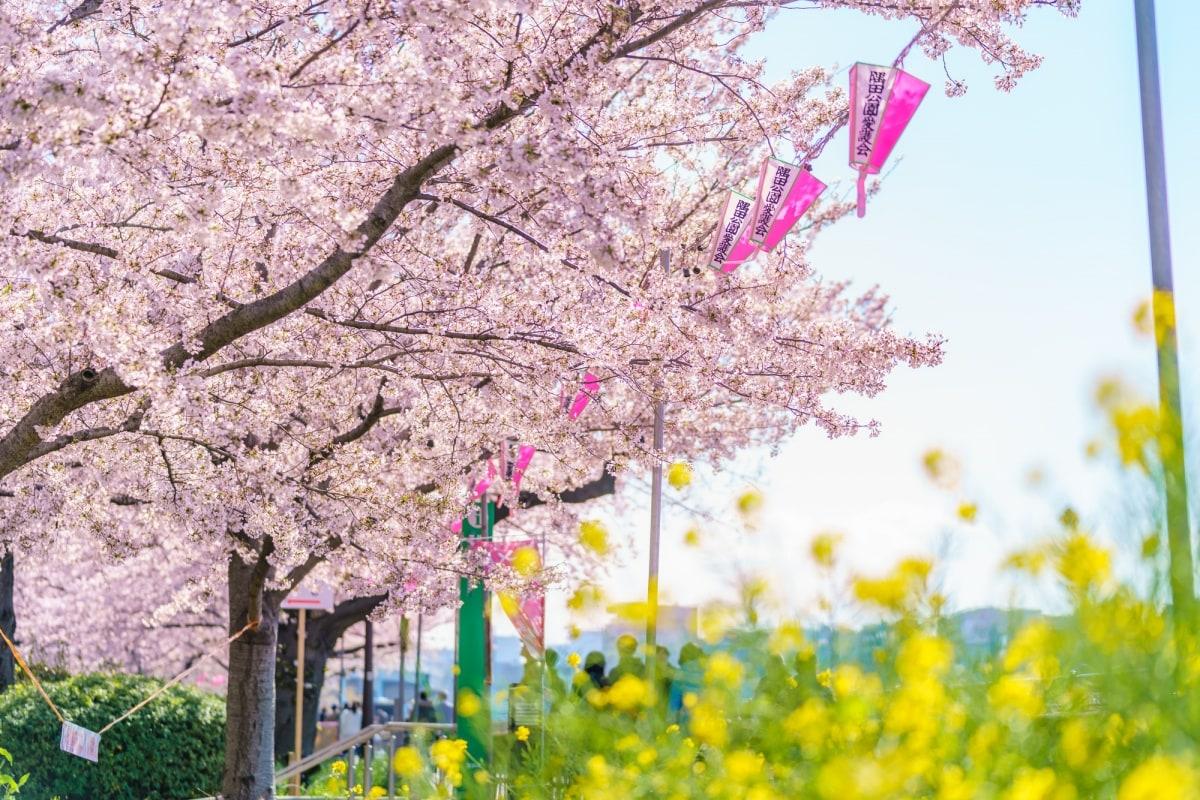 隅田公园:游船赏樱