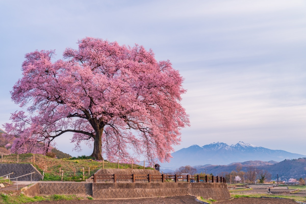 佇立在丘陵中央的閃耀一本櫻「わに塚」