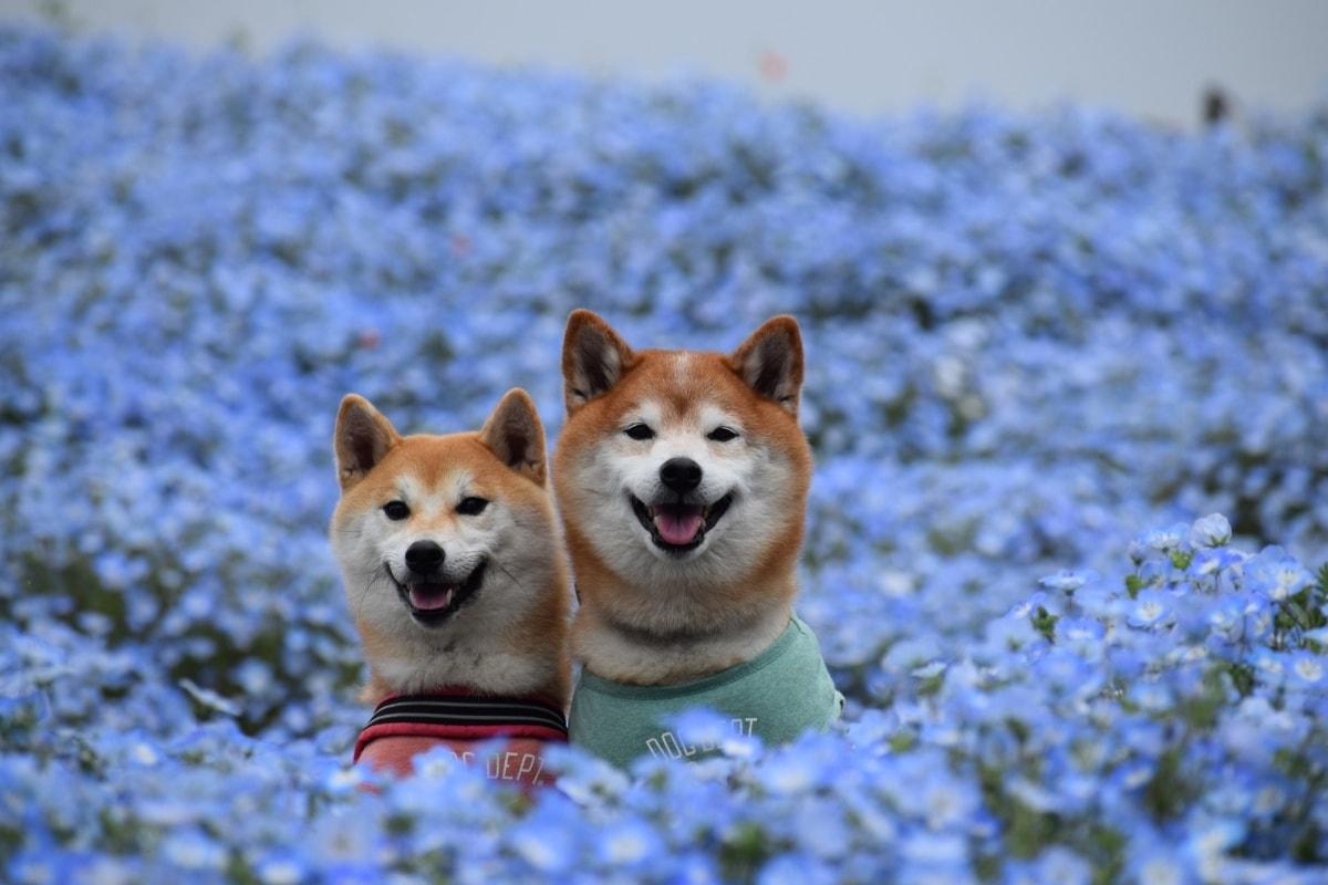 1 ทุ่งดอกเนโมฟีลา สวนฮิตาชิ ซีไซด์ ปาร์ค, จังหวัดอิบารากิ (Hitachi Seaside Park, Ibaraki)
