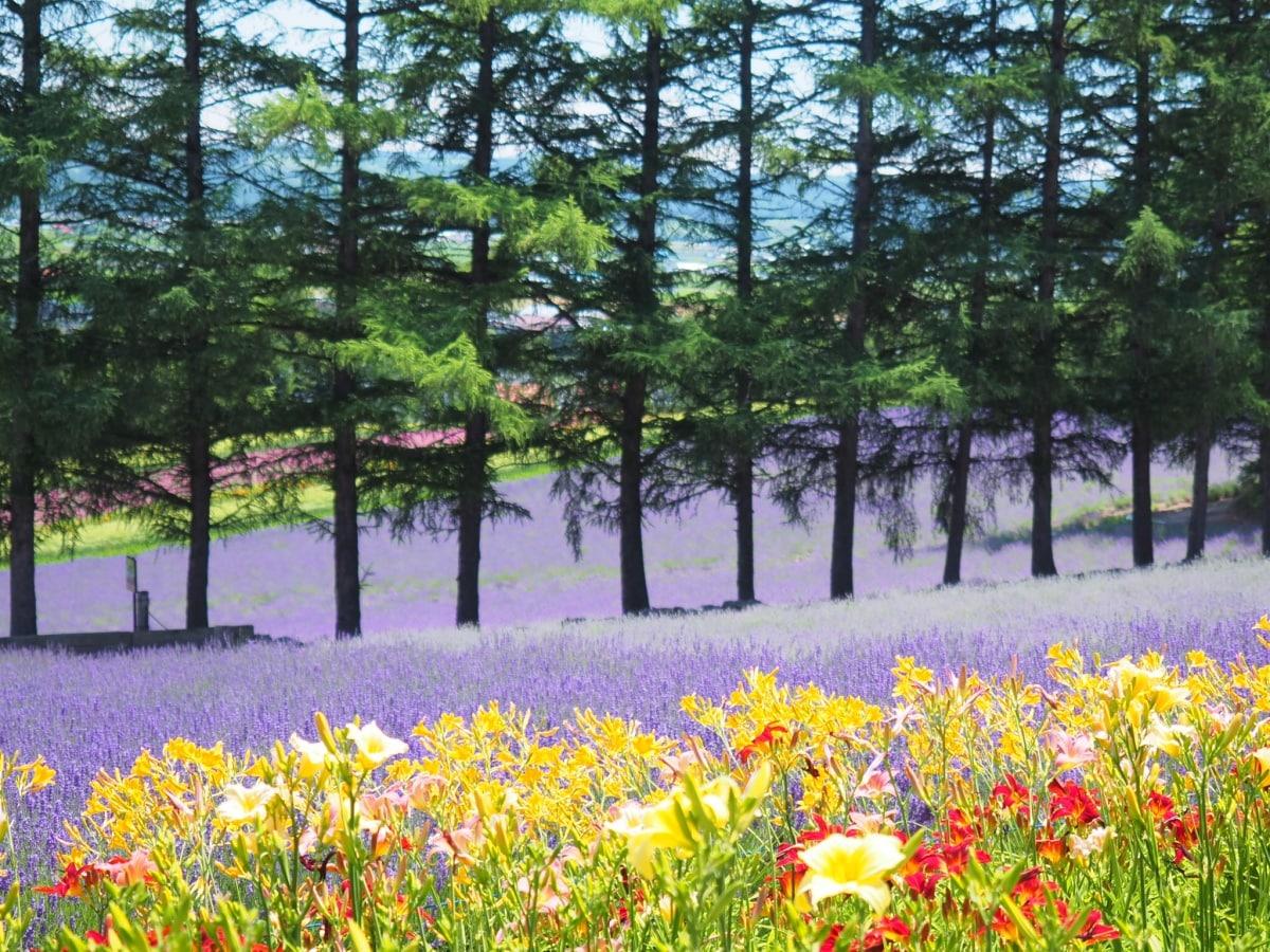 1. สัมผัสความสวยงามตระการตาของทุ่งลาเวนเดอร์ที่ฟุราโนะ จ.ฮอกไกโด (Lavender filed at Furano, Hokkaido)