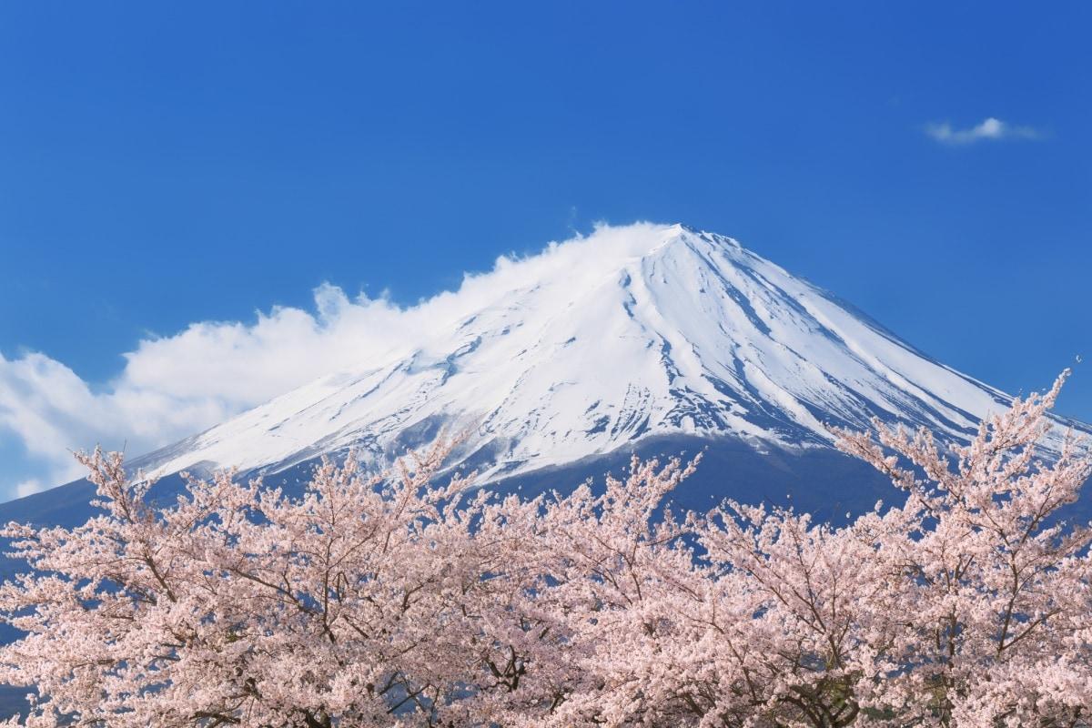 1 ซากุระ (Sakura)