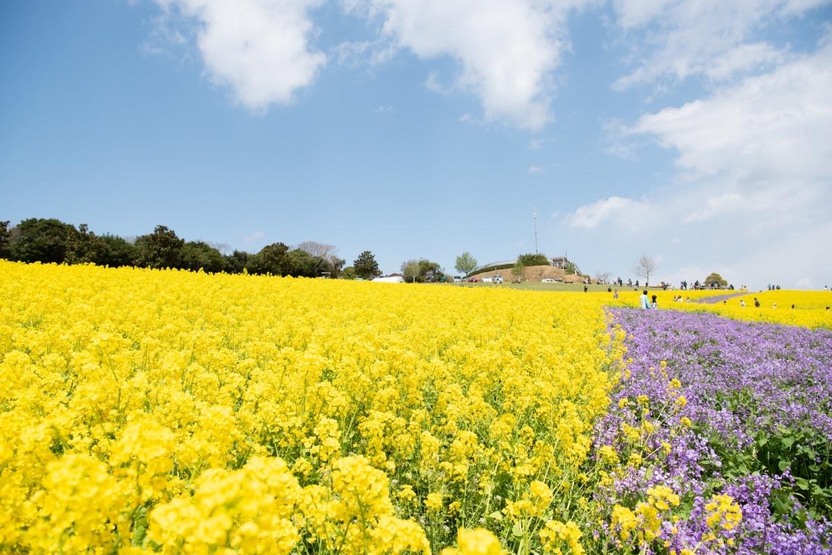 1. ชมทุ่งดอกไม้พร้อมวิวท้องทะเลที่สวนดอกไม้อาวาจิ ซาจิกิ จ.เฮียวโงะ (Awaji Sajiki Koen Park, Hyogo)