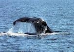 知床の海でホエールウォッチング