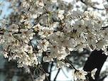 開花の目安となる標本木がある「靖国神社」(千代田区)