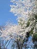 人気花見スポット飛鳥山公園の近くにある穴場「滝野川公園」