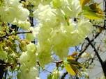黄色い桜が境内にある「柳森神社」